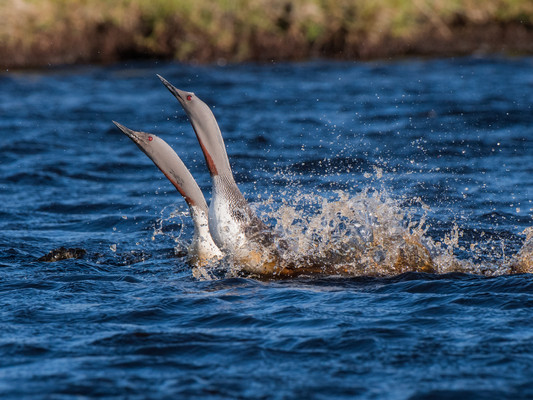 Red throated divers courtship By Josh Jaggard