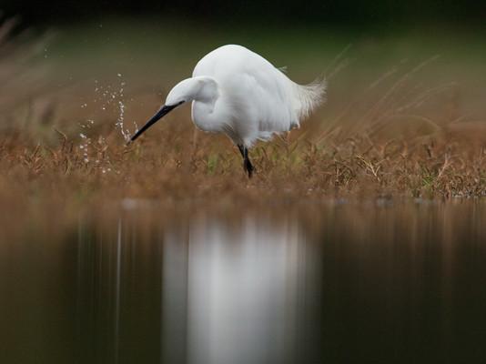 Little egret catch By Josh Jaggard