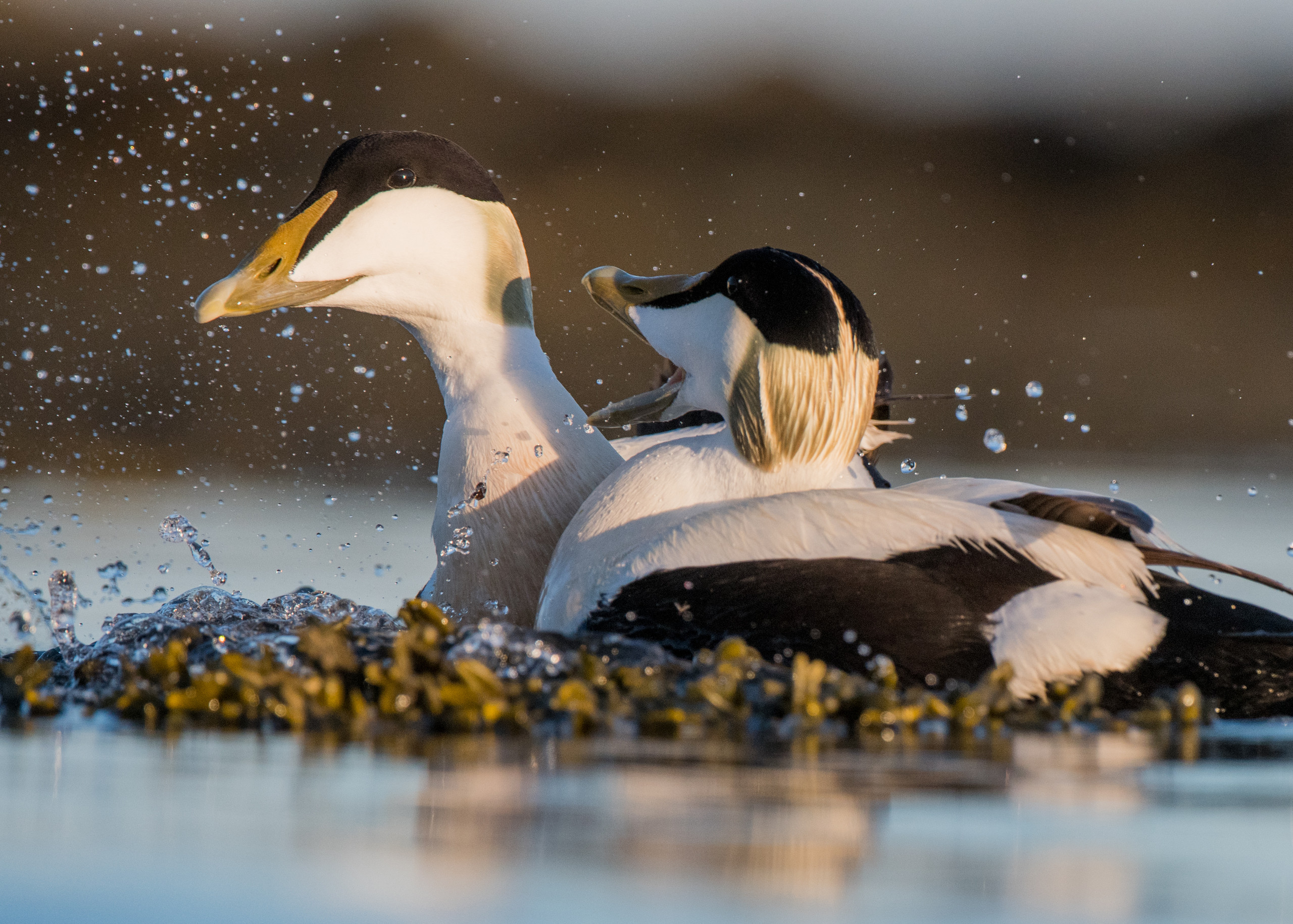 Male Eider ducks fighting from Josh Jaggard floating hide
