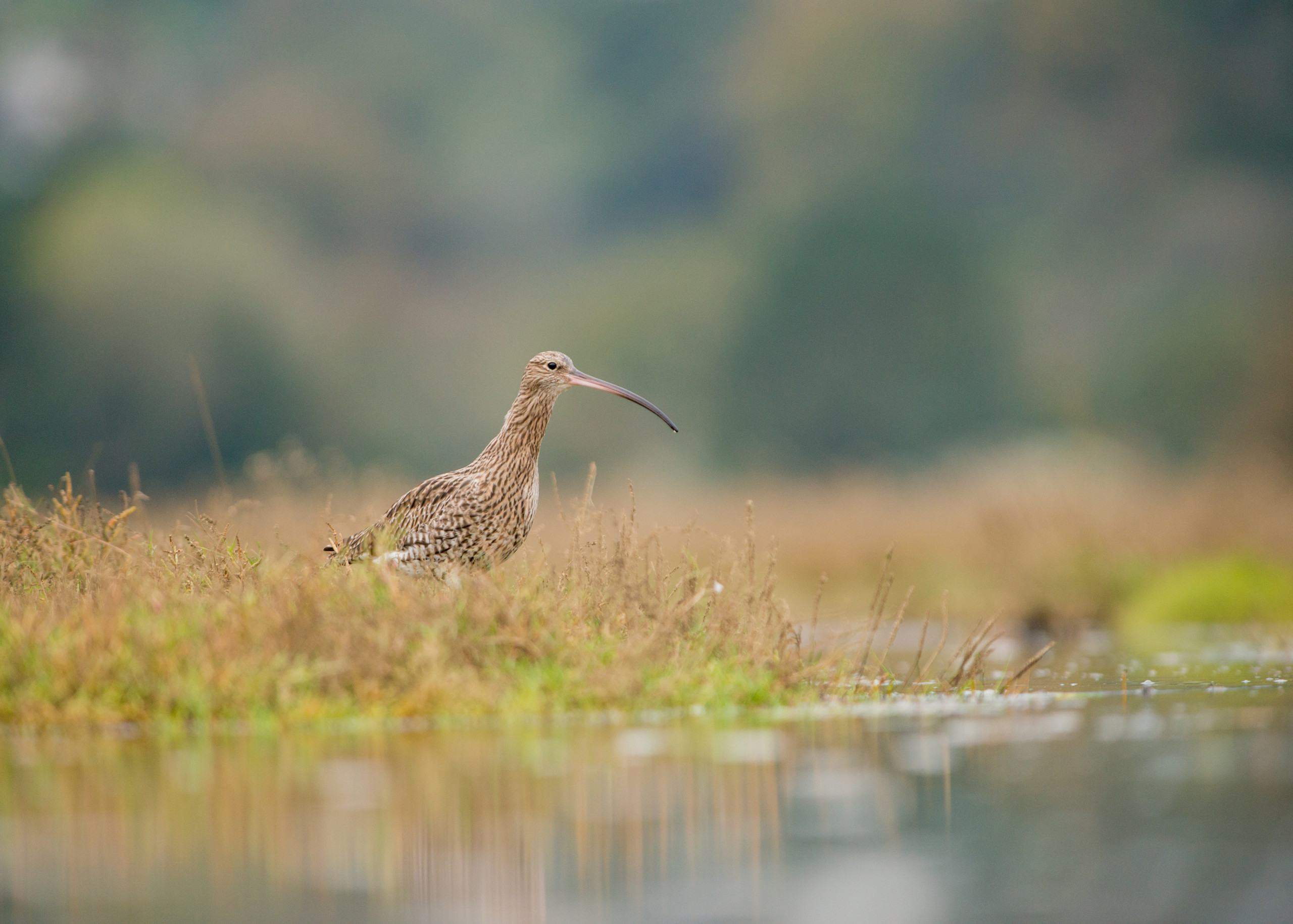 Curlew from Josh Jaggard floating hide
