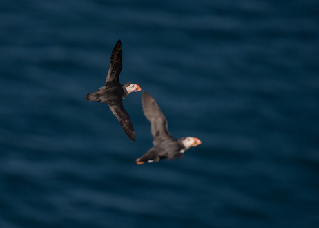 Dog fight puffins by Josh Jaggard
