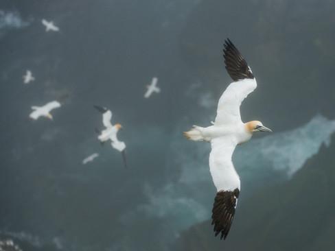 Gannets in the mist By Josh Jaggard