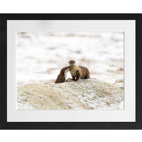 Otter bringing bedding to its cub in the snow