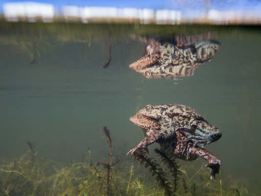 Toads mating underwater by Josh Jaggard