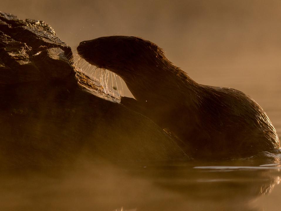 Sunrise otter By Josh Jaggard