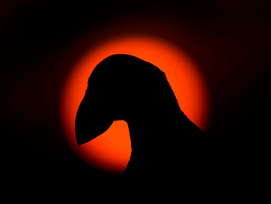 Puffin silhouette By Josh Jaggard