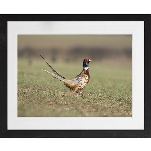 Pheasant Strutting