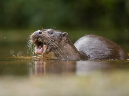 Otter eating By Josh Jaggard