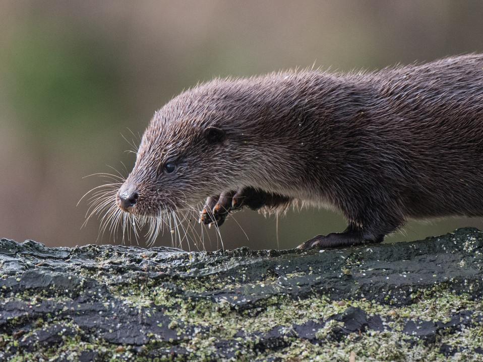 Otter cub walking By Josh Jaggard