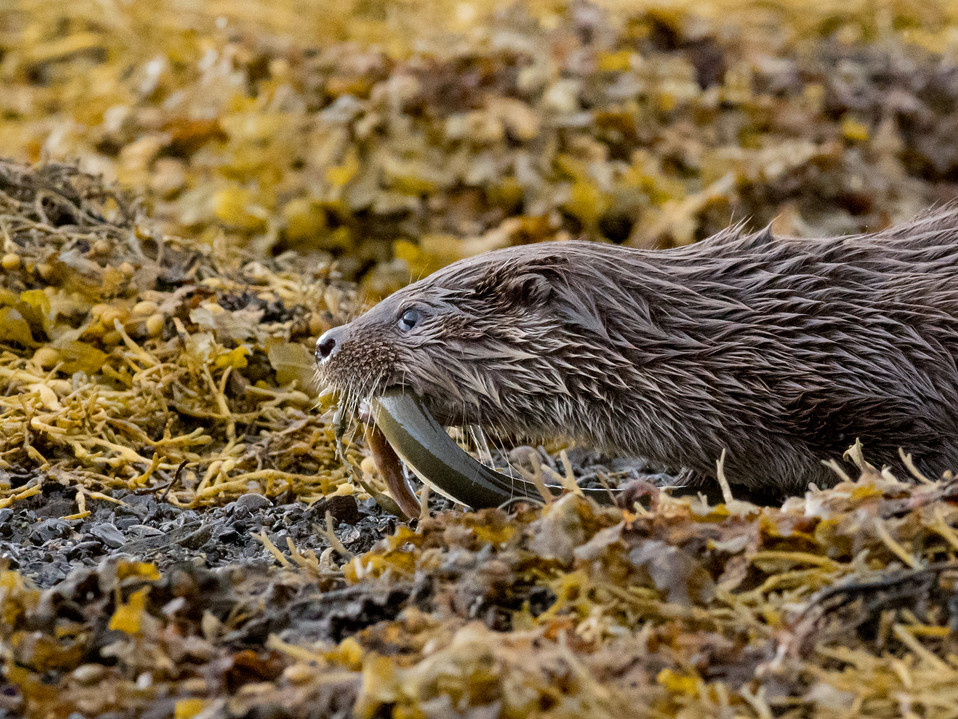 Otter cub with an eel By Josh Jaggard