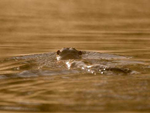 Otter ears By Josh Jaggard