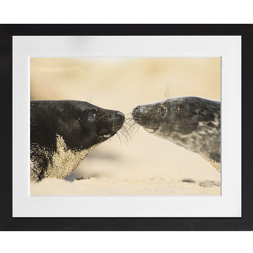 Seal pups kissing