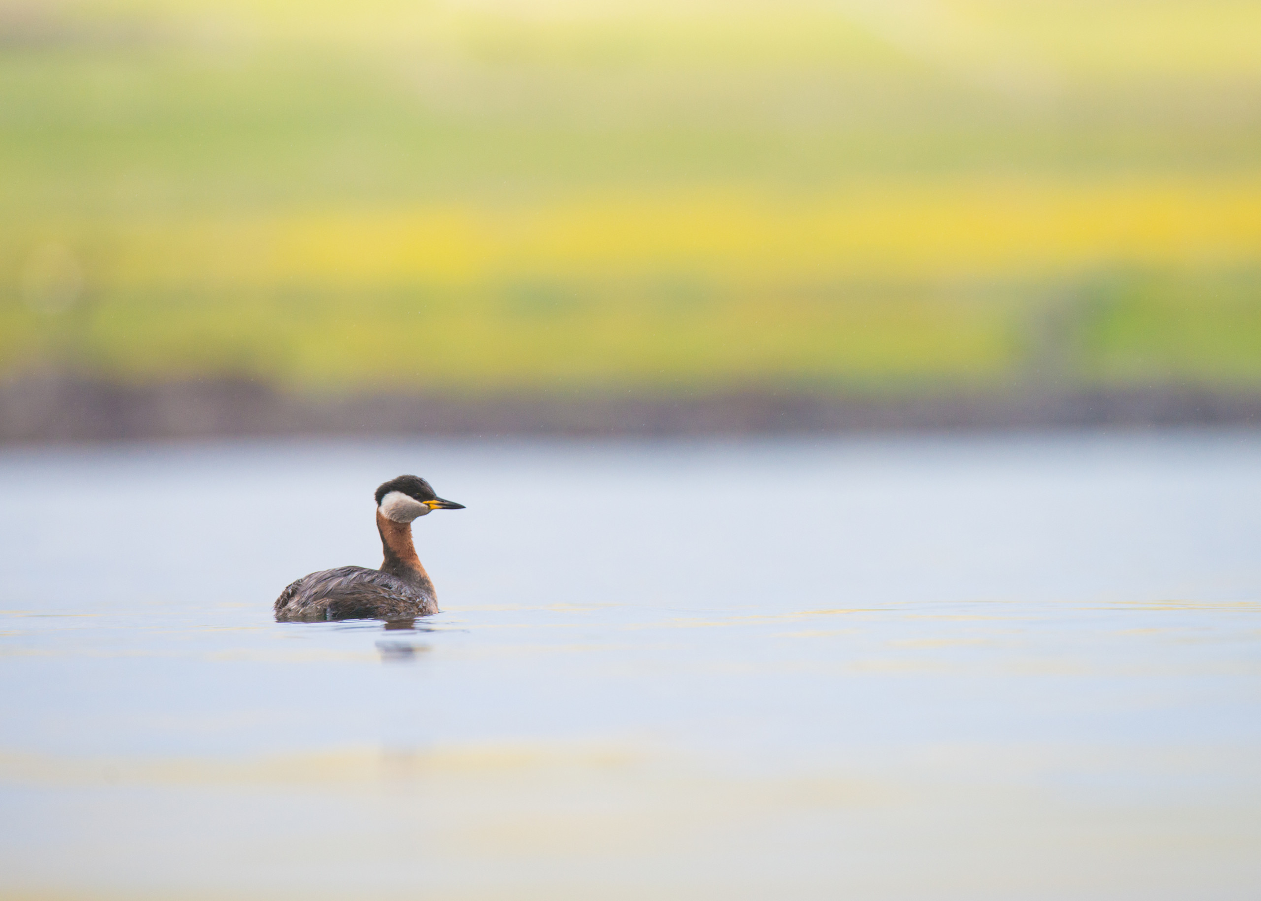 Red necked grebe from Josh Jaggard floating hide