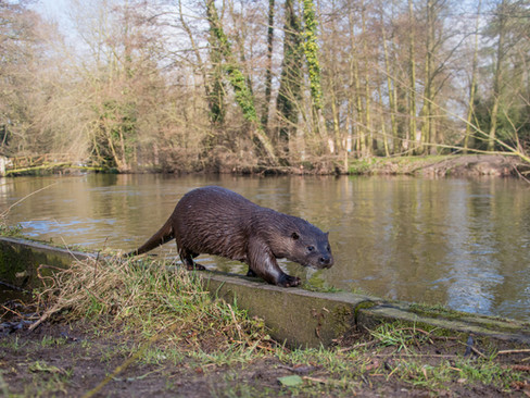 Walking otter By Josh Jaggard