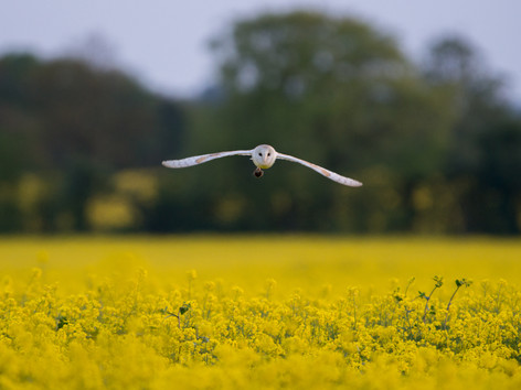 Barn Owl With a Vole by Josh Jaggard