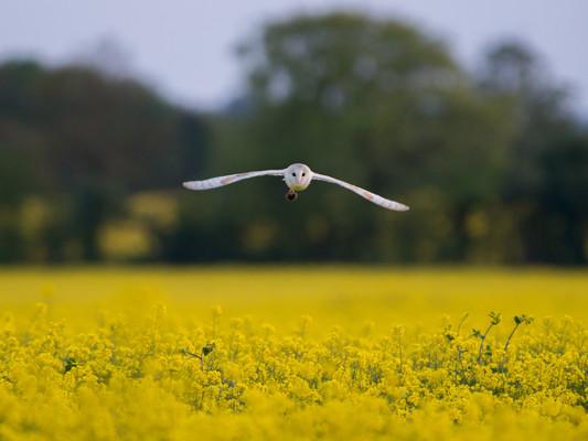 Barn Owl With a Vole by Josh Jaggard