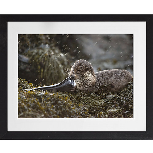 Otter eating a conga eel