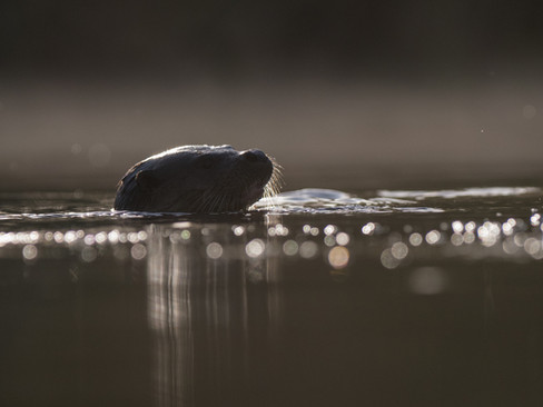 Backlit swimming otter By Josh Jaggard