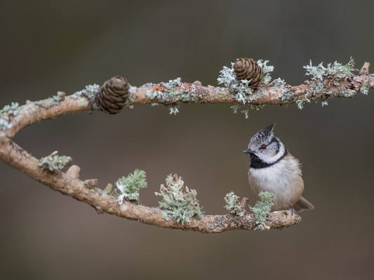 Crested tit By Josh Jaggard