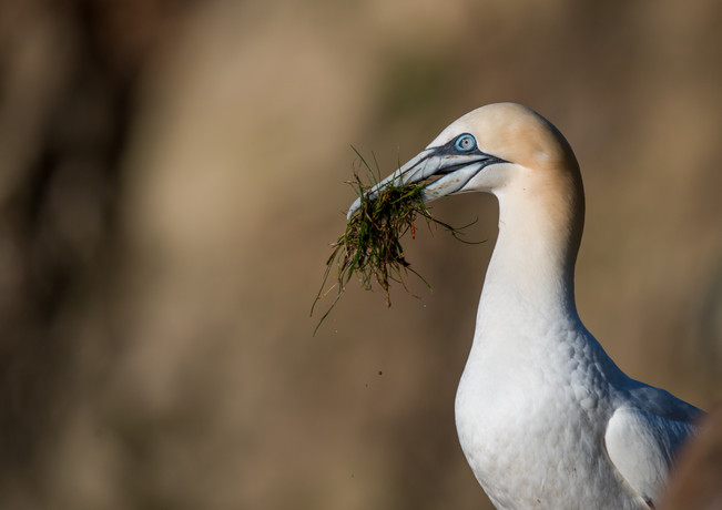 Gannet with nesting material By Josh Jaggard