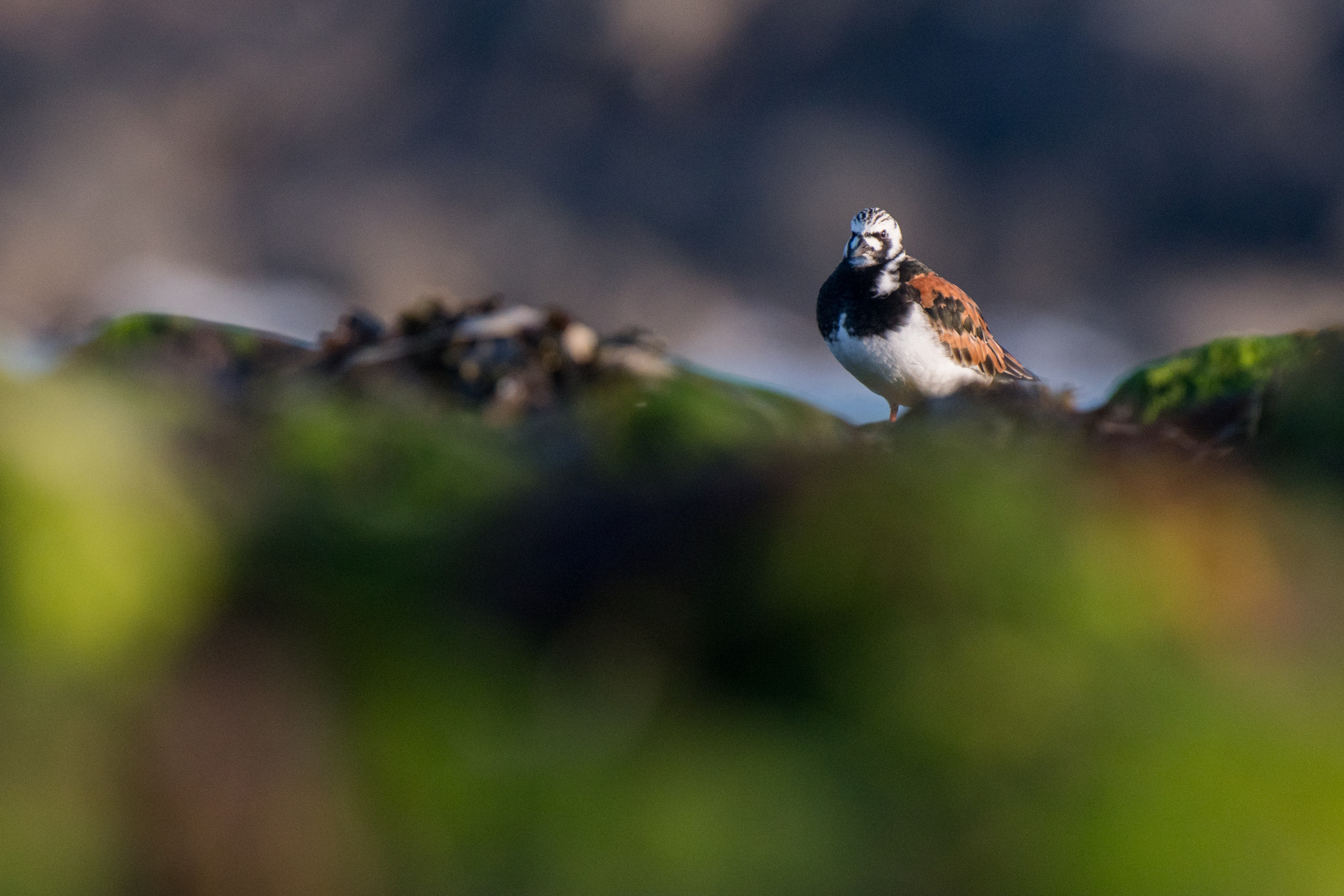 Turnstone from Josh Jaggard floating hide