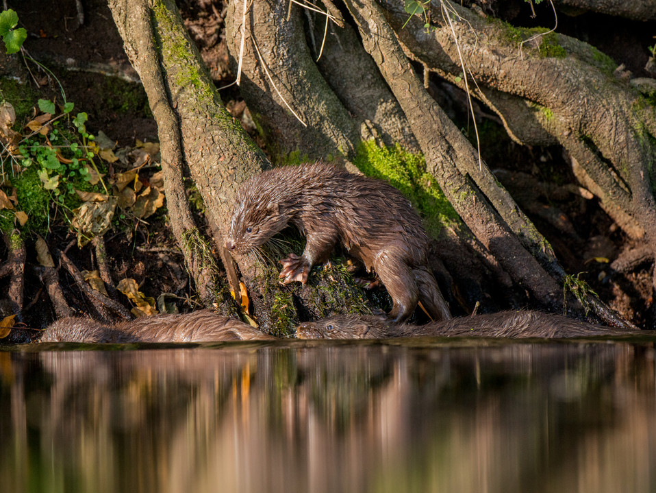 Trio of Otter cubs By Josh Jaggard