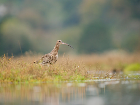 Curlew By Josh Jaggard
