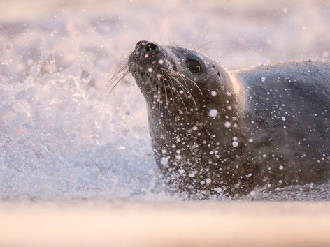 Grey seal in the surf by Josh Jaggard