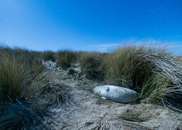 Midnight seal sleep by Josh Jaggard