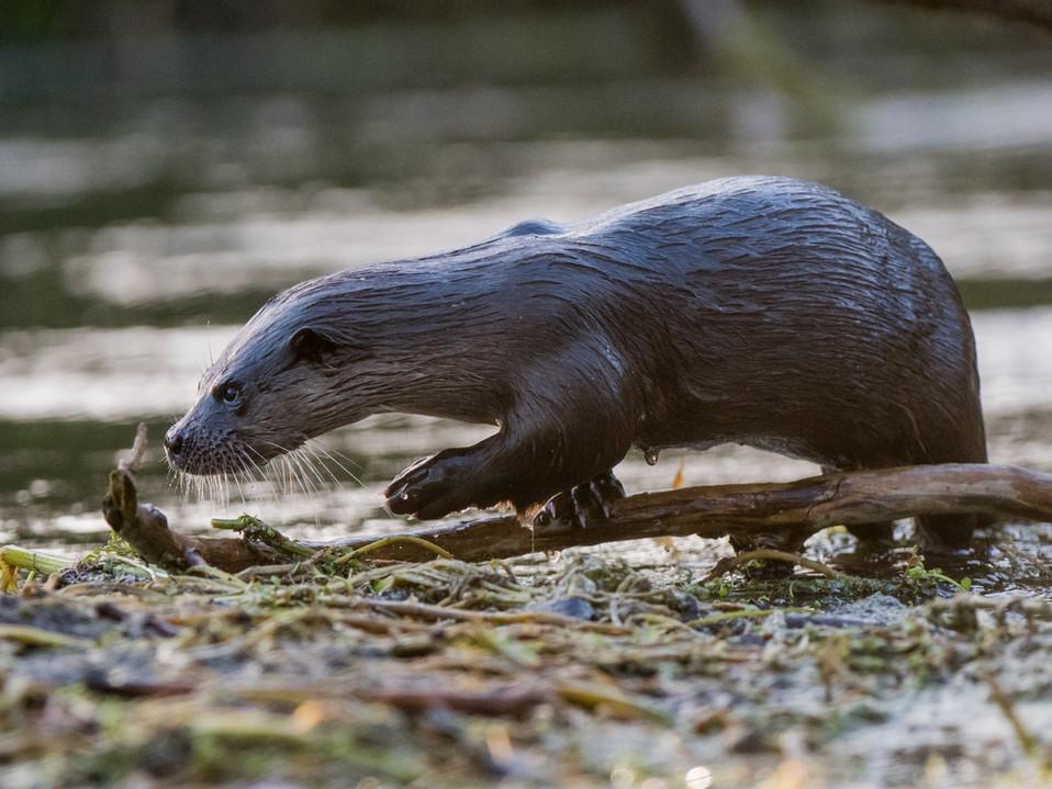 Otter Paw By Josh Jaggard