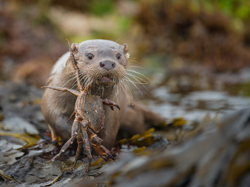 Otter carrying a crab By Josh Jaggard