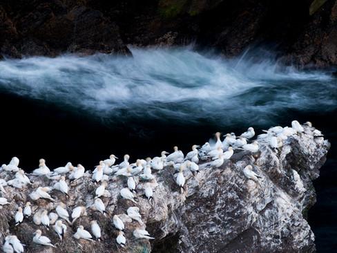 Nesting Gannets by Josh Jaggard