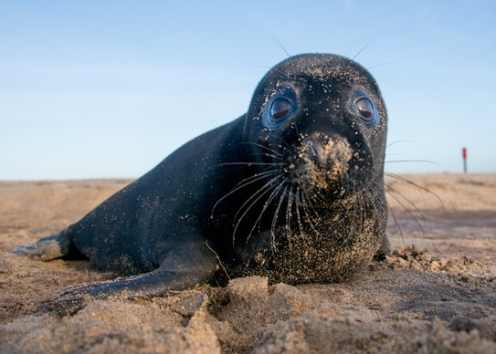 Black seal pup by Josh Jaggard
