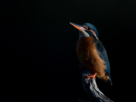 Kingfisher By Josh Jaggard