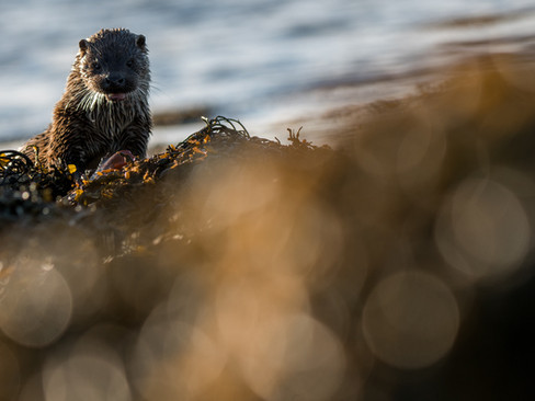 Otter in seaweed By Josh Jaggard