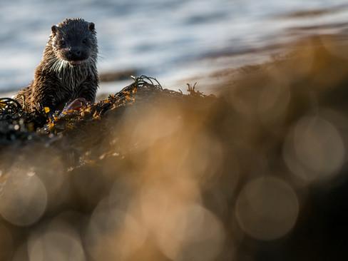 Otter in seaweed By Josh Jaggard