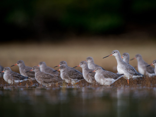 Spot the Spotted Redshank By Josh Jaggard