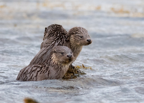 Cubs in the sea By Josh Jaggard