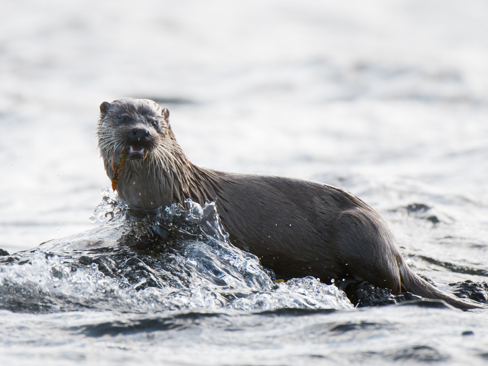 Otter with a butterfish By Josh Jaggard