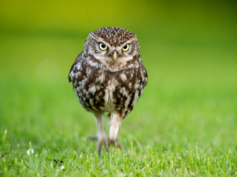 Little Owl by Josh Jaggard