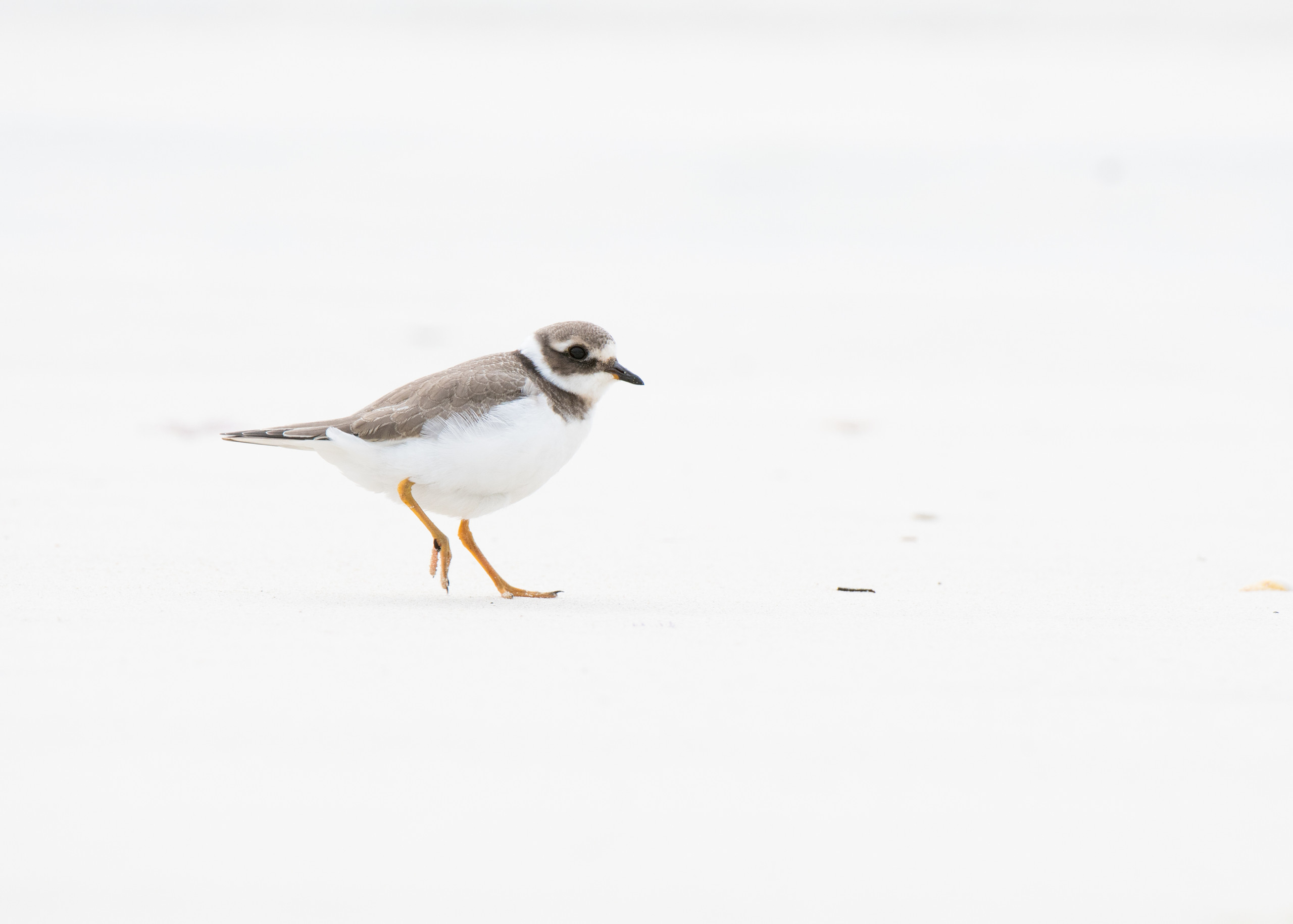 Ringed Plover from Josh Jaggard floating hide