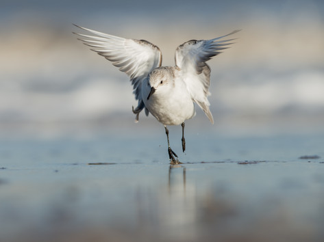Sanderling by Josh Jaggard
