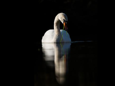 Mute Swan by Josh Jaggard