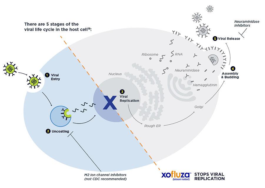 Xofluza-MOA-Desktop.jpg