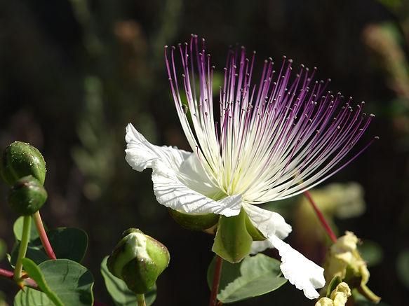 Caper Plant and Leaves Debene.jpg