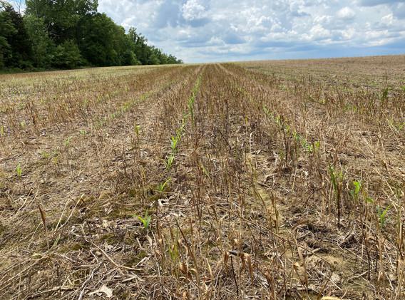 No Till Corn 2.jpg