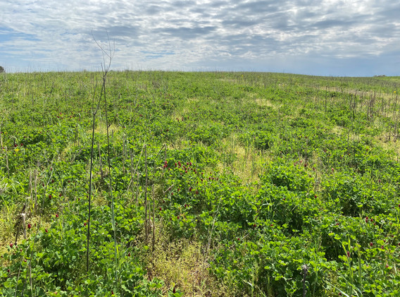 Whole field view of Cover Crop Mix_April