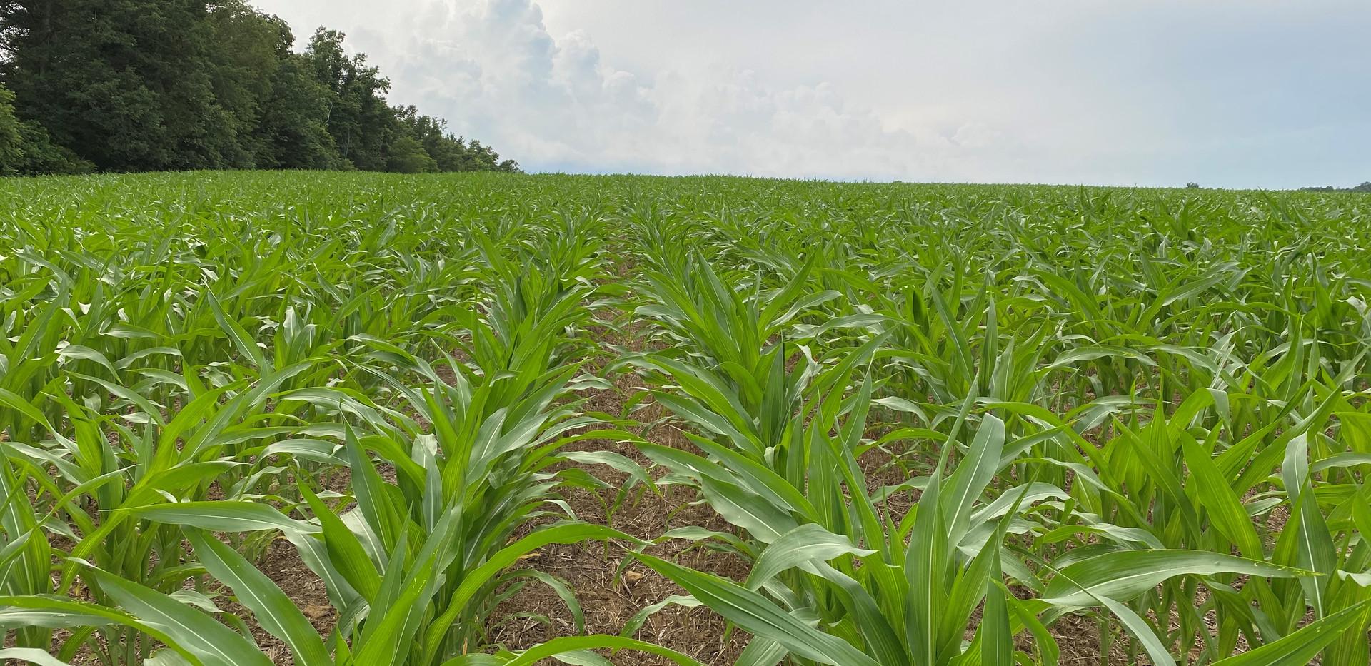 No Till Corn.jpg