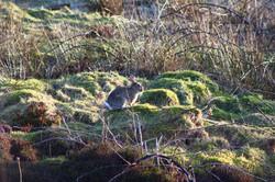 Wild Rabbit, Isle of South Uist
