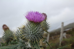 Thistle, Isle of South Uist